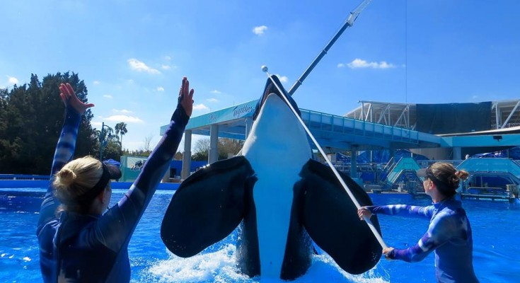 Tilikum vs J34 a Tale of Two Killer Whales