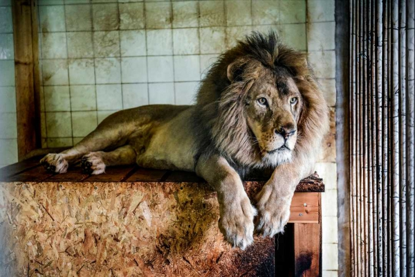 Bobby the lion in Tirana (Albania) Zoo on May 7, 2019. Gent Shkullaku/AFP/Getty Images